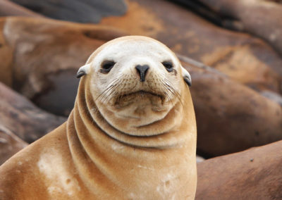 California sea lion, Moss Landing Harbor