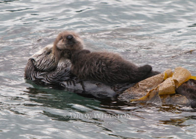 Sea otter mom holding newborn pup, Point Lobos State Natural Reserve