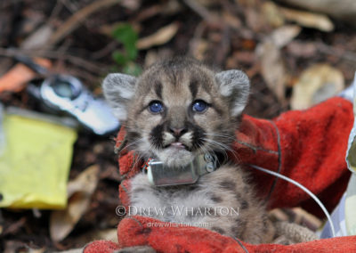Researcher holding 4-week-old puma kitten with GPS collar, Santa Cruz Mountains