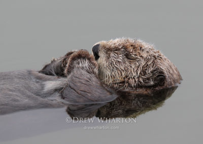 Sea otter napping, Moss Landing Harbor