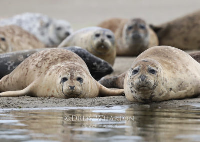Harbor seals hauled out on beach, Moss Landing State Beach