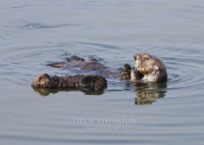 Sea otter mom snacks on mussels while pup naps, Elkhorn Slough