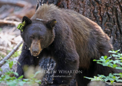 Black bear, Yosemite National Park