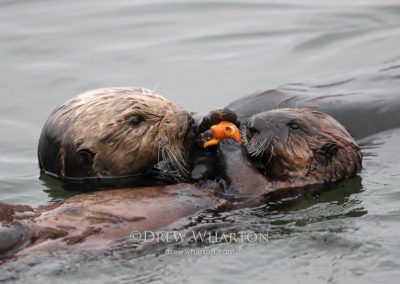 Sea otter mom sharing mussel with pup, Elkhorn Slough
