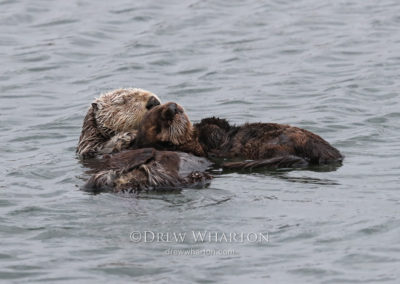 Sea otter mom and pup resting