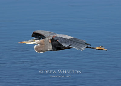 Great blue heron, Elkhorn Slough