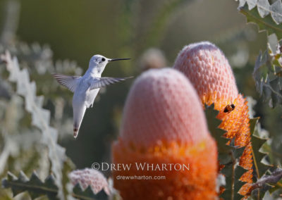 Rare leucistic Anna's hummingbird visiting Woolly Orange Banksia, UC Santa Cruz Arboretum