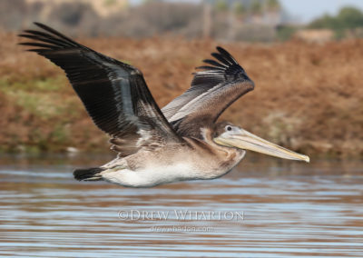 California brown pelican, Elkhorn Slough