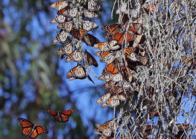 Monarch butterfly clustering in eucalyptus tree, Natural Bridges State Beach