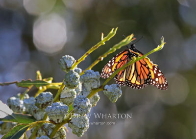 Monarch butterfly resting on blue gum eucalyptus, Lighthouse Field State Beach