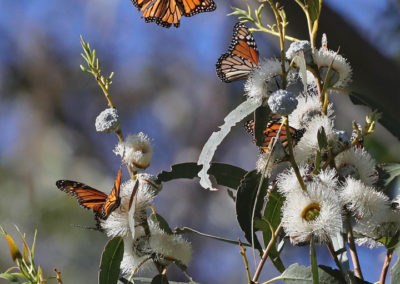 Monarch butterflies nectaring in flowering blue gum eucalyptus, Lighthouse Field State Beach