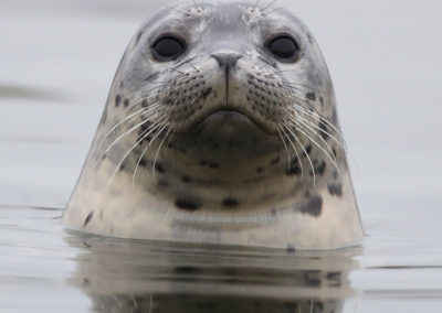 Curious harbor seal, Elkhorn Slough