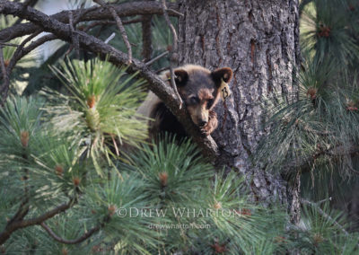Black bear yearling resting in pine tree, Yosemite National Park