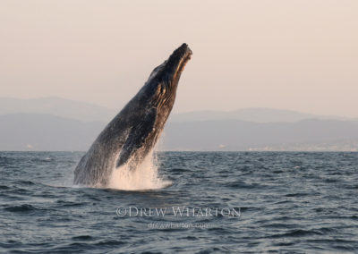 Breaching humpback whale at sunset, Monterey Bay