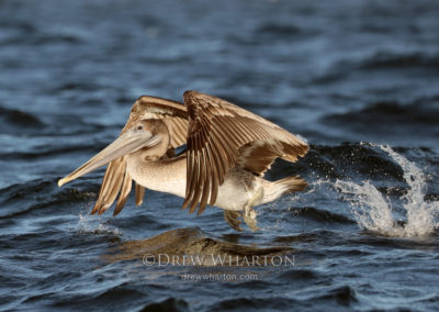 California brown pelican takes flight on Monterey Bay