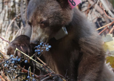 Black bear with GPS collar eating grapes