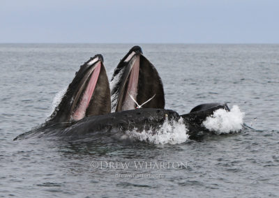 Hungry tern flies through open mouths of lunge-feeding humpback whales in daring attempt to steal anchovy, Monterey Bay